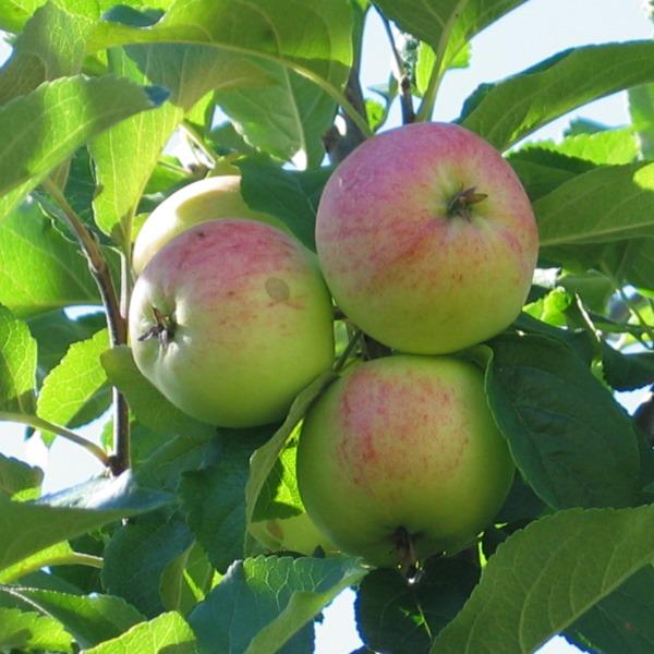 Kuvahaun tulos haulle sariola omena