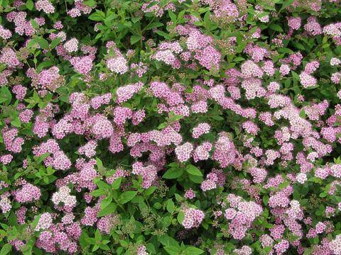 Angervo, keijuangervo Spiraea japonica 'Little princess'